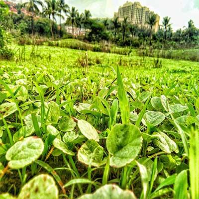 aarey colony leaves